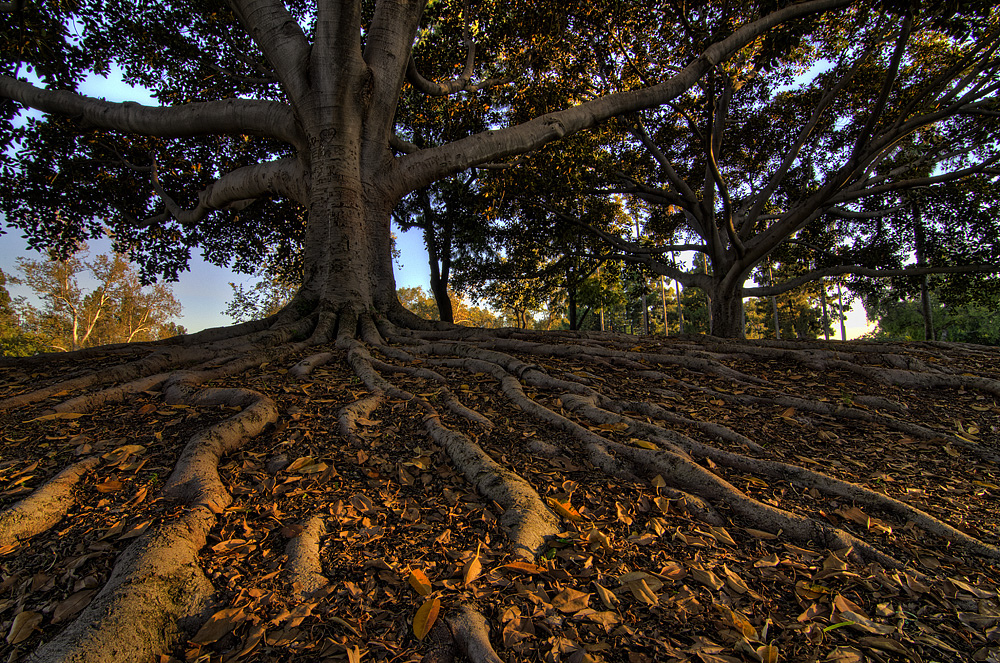 Large, broad tree with deep, powerful roots.